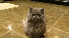 Blue Persian 6 months old