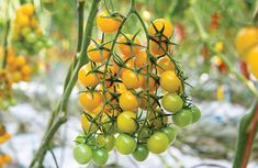 """""Vine Cherry Tomato has yellow flavor"" Tomato Seeds, Food Coloring, Cherry Tomatoes, Horticulture, Vines, Canning, Fruit, Vegetables, Texas"