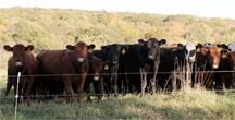 Stuart Family Farm in Bridgewater CT. Grass Fed beef!