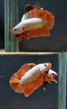Platinum orange dragon