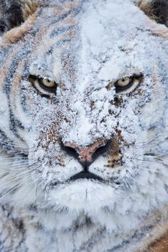 Siberian Tiger running free atop a snow covered mountain