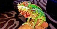 Hottest Totally Free chameleon pet green Ideas : Chameleons tend to be incredible animals, nonetheless they could be recycled the top dogs and cats intended for everyone. Since their own treatment de. Baby Chameleon For Sale, Chameleon Pet, Veiled Chameleon, Reptile Cage, Reptile Enclosure, Chameleons For Sale, Baby Panther, Hamster Cages, Dinosaur Crafts