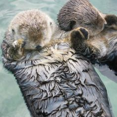 Otters hold hands while they sleep so they don't float away from each other.