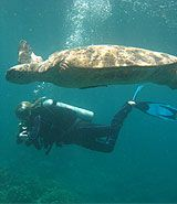 Diver and turtle, Fiji | Dive, travel and volunteer for Marine Conservation at www.frontiergap.com | #dive
