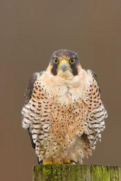 Peregrine Falcon by Scott Carpenter