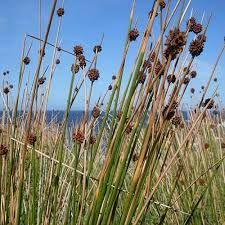 Search results for: 'lomandra sharatm' Australian Plants Online Lomandra, Australian Plants, Kings Park, New Roots, Sandy Soil, Big Leaves, Dry Creek, Clay Soil, Plants Online