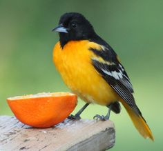 Make a resolutions to feed a wider variety of birds this year, like offering oranges to orioles (Photo by Debbie Rote). Get more ideas on the Birds and Blooms Blog.