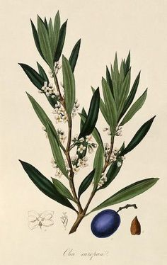 """Olive. """"A Curious Herbal Antique Botanical Illustration"""" By Elizabeth Blackwell, published in 1737 in London by Samuel Harding. Engraved on folio copper plates.:"""
