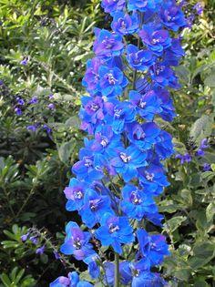 Google Image Result for http://www.huntingtonbotanical.org/Shakespeare/gallerypicslg/Delphinium.jpg
