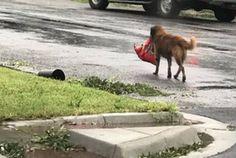 Este perro huyó de 'Harvey' con todo y bolsa de alimento - Milenio.com