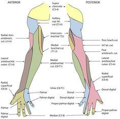 Hautinnervation des Arms