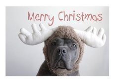 santa's reindeer pit bull Christmas card pack by pibbleslobberstudio / jennifer silva on etsy, $12.