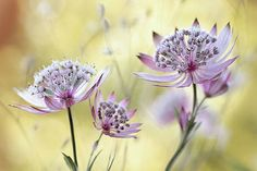Mandy Disher - Astrantia Major Astrantia Major, Painting Edges, Painting Prints, Art Prints, Framed Artwork, Wall Art, Yellow Background, Stretched Canvas Prints, Find Art