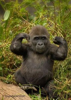 Young gorilla aspiring to be next Mr Universe.that is on planet of the apes. Primates, Mammals, Cute Baby Animals, Animals And Pets, Funny Animals, Exotic Animals, Small Animals, Wild Animals, Beautiful Creatures