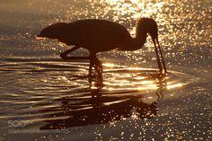 Wading Spoonbill (Brad Lambert Photography / Lake Macquarie / Australia) #NIKON D80 #animals #photo #nature