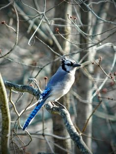 Blue Jay / The markings on his tail (somewhat different) remind me of blue and white flowers.  03-09-16 by S.Dorman