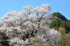 大平山を従えて - 佛隆寺・千年桜 (2013/4/12)