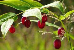 Twisted Stalk Berries - a.k.a Watermelon Berries