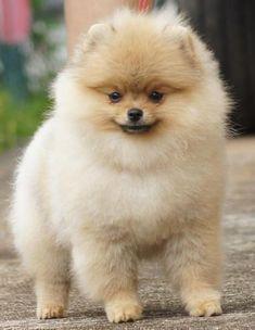 Jan Shar Pomeranians ~Foreign Showing~ #pomeranian