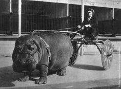 Hippo cab, anyone?