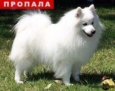 Пропала собака кобель г.Калининград (Кенигсберг) http://poiskzoo.ru/board/read30721.html  POISKZOO.RU/30721 Пожалуйста, помогите! Пропала собака породы японский шпиц: белый, сильно пушистый кобель, средних размеров. .. сентября утром убежал от хозяина в парке в районе улиц Яналова - Каштановая аллея. В шлейке. кто что знает сообщите, пожалуйста: ...  РЕПОСТ! @POISKZOO2 #POISKZOO.RU #Пропала #собака #Пропала_собака #ПропалаСобака #Калининград #Кенигсберг