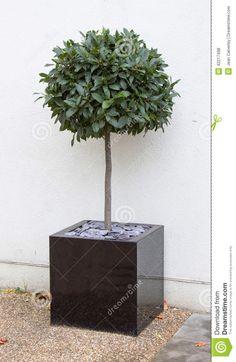 Bay Tree In Cube Pot Stock Photo - Image: 42217498