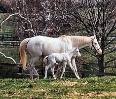 Patchen Beauty with her colt The  White Fox (Thoroughbreds)