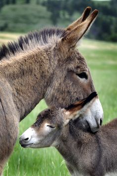 Mama and baby donkey Baby Donkey, Cute Donkey, Baby Cows, Baby Elephants, Mini Donkey, Cute Baby Animals, Farm Animals, Animals And Pets, Wild Animals