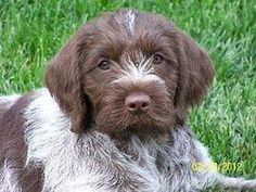 Wirehaired Pointing Griffon Hunting Dog - Griffon Puppies For Sale