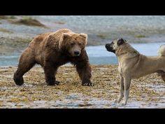 Turkish Kangal Dog Vs Wolf