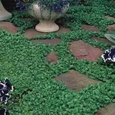 Dichondra lawn with flagstones. I would love not to have grass in back. This stuff is beautiful, but may not tolerate Chicago cold terribly well.