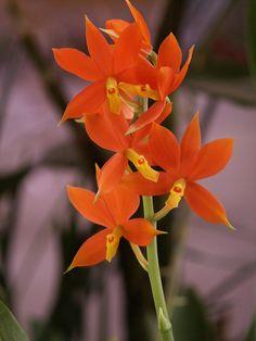 Prosthechea vitellina (Manuelitos) Epiphytic orchid from Mexico.