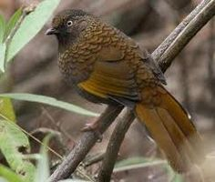 yellow throated laughing thrush - Google Search