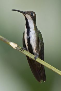 Mango Pechinegro, Black-throated Mango (Anthracothorax nigricollis) female 40 by jjarango, via Flickr