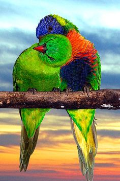 Lorikeet love. They're so colorful.