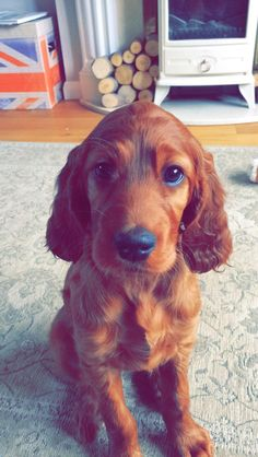 Extremely photogenic Irish Setter http://ift.tt/2pTbDLx