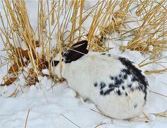 Wild bunny grazing on a below-zero day