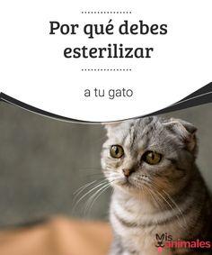 Por qué debes esterilizar a tu gato   ¿Tienes dudas sobre la esterilización animal?, te hablamos un poco sobre el por qué debes esterilizar a tu gato. #gato #esterilizar #razones #curiosidades