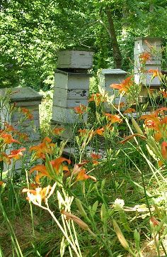 This is one of my favorite pics of an apiary I've seen.  So soft and lovely and not to perfect.