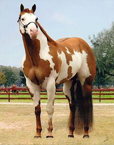 Red Dun | Red Dun Paint Horse Sale of red dun overo stallion
