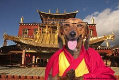 Dachie Lama:  Spreading the peace and love of Dog