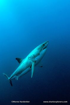 Just back from first 2013 White Shark trip to Guadalupe. Can't wait for the next one.... www.sharkexplorers.com