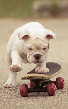 The major breeds of bulldogs are English bulldog, American bulldog, and French bulldog. The bulldog has a broad shoulder which matches with the head. Love My Dog, Puppy Love, Cutest Puppy, Baby Animals, Funny Animals, Cute Animals, Pet Dogs, Dog Cat, Pets