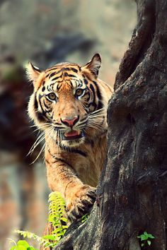 Tigers are endangered ; many of them are in captivity.