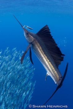 Sailfish hits sardine by Shawn Heinrichs @BlueSphereMedia http://journal.bluespheremedia.com/