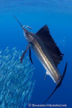 Sailfish hits sardine by Shawn Heinrichs @BlueSphereMedia http://journal.bluespheremedia.com/