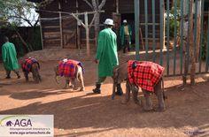 Zum Schutz vor der Sonne tragen sie Decken. In der Natur würden sie einfach viel Zeit im Schatten der großen Elefanten ihrer Herde verbringen. Aga, Kenya, January, Elephants, Ceilings, Shadows, Sun, Simple