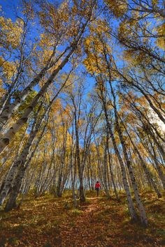 白桦林·秋 - 木兰围场-塞罕坝的秋天 Tree Forest, Nature, Trees, Plants, Vacations, Tree Structure, Flora, Nature Illustration, Off Grid