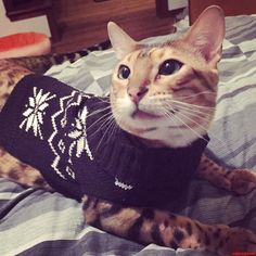 Sweater weather - http://cutecatshq.com/cats/sweater-weather/
