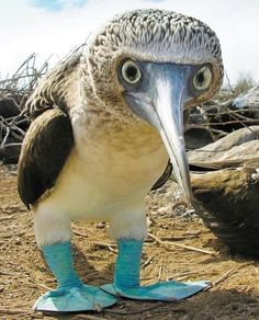 A blue-footed booby bird. My feet are blue. What color are yours? Nature Animals, Animals And Pets, Baby Animals, Funny Animals, Cute Animals, Wild Animals, Pretty Birds, Beautiful Birds, Animals Beautiful